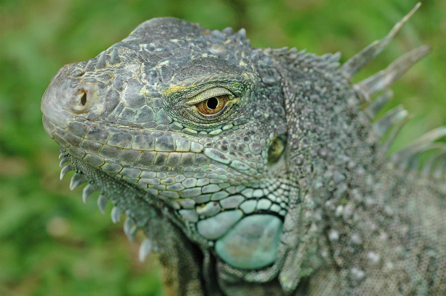 Iguana Photograph - Green Iguana by Mary Lane