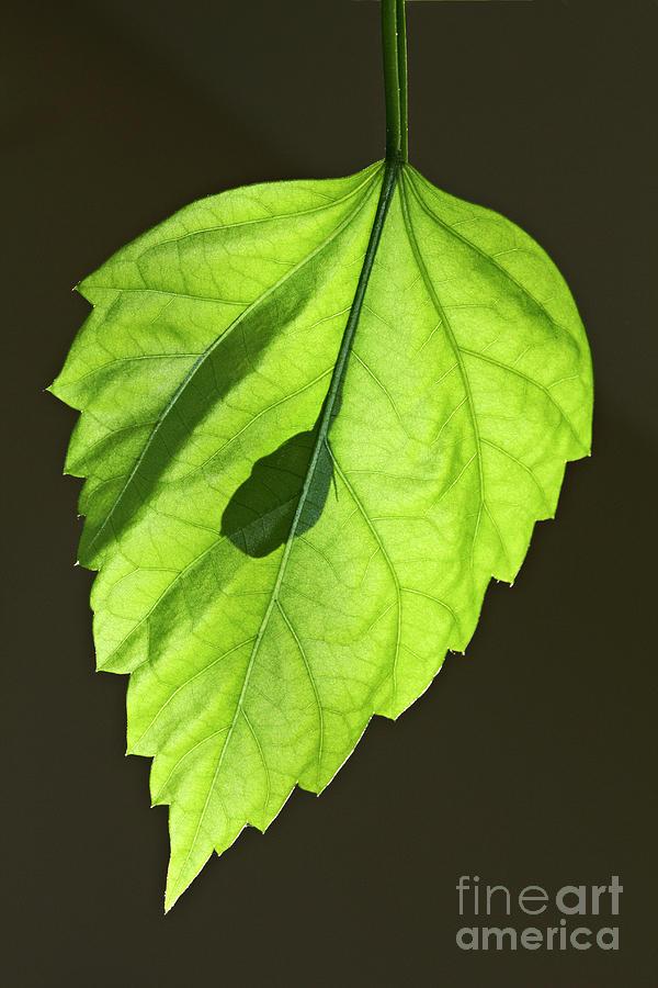 Green Hibiscus Leaf by Tony Cordoza