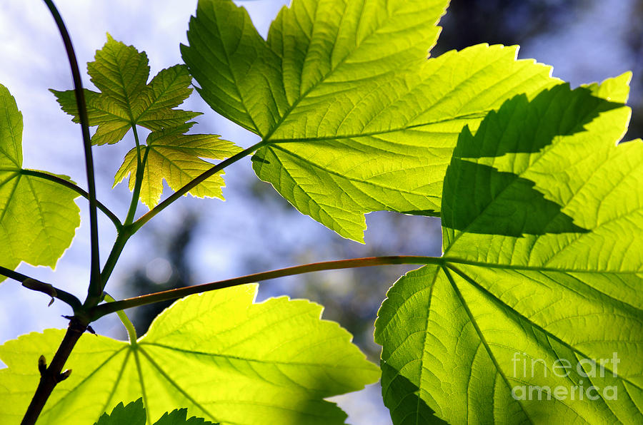Autumn Photograph - Green Leaves by Carlos Caetano