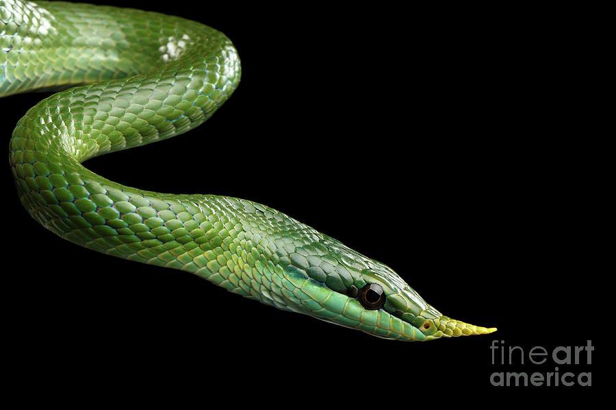 Green Long Nosed Snake Rhinoceros Ratsnake Photograph By Sergey Taran