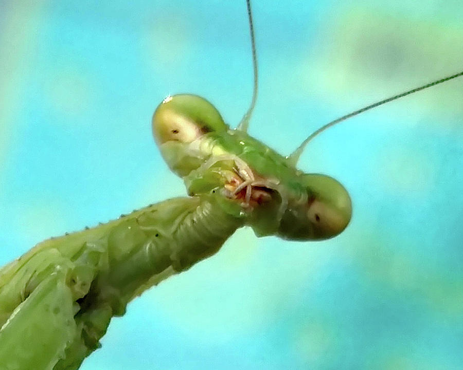 Mantis Photograph - Green Martian by Paula Anderson
