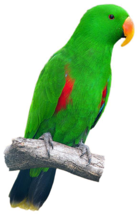 Parrot Photograph - Green parrot by George Atsametakis