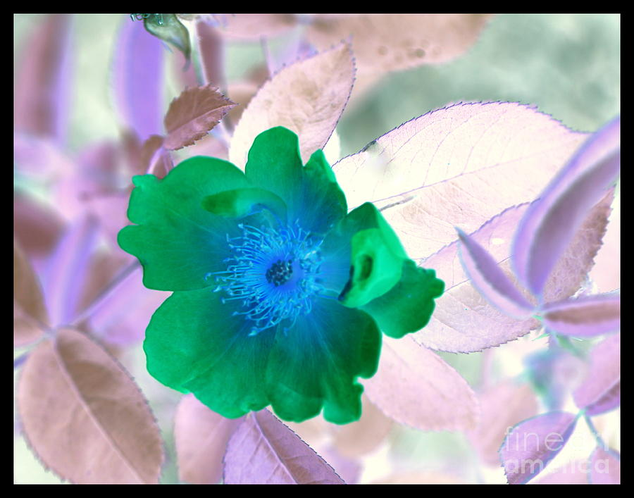 Inverted Colors Photograph - Green Rose by Carol Komassa