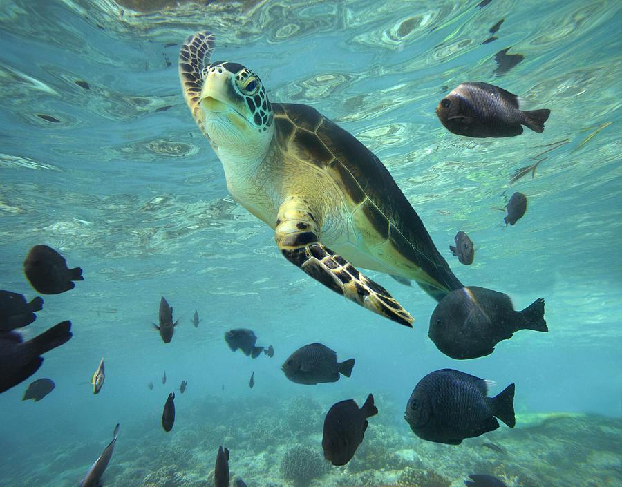 Green Sea Turtle Balicasag Island Photograph by Tim Fitzharris