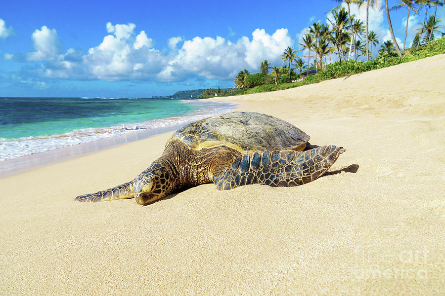 Green Sea Turtle Hawaii by Hans- Juergen Leschmann