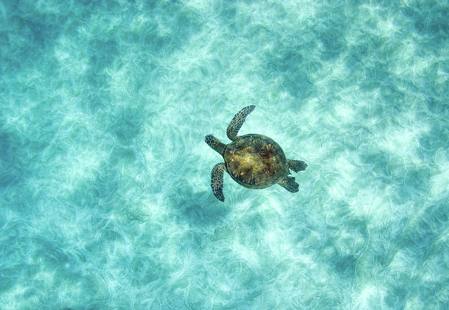 Horizontal Photograph - Green Sea Turtle In Under Water by M.M. Sweet