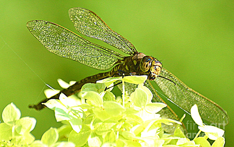 Dragonflies Photograph - Green Spotted Dragonfly 2 by Mark Guilfoyle