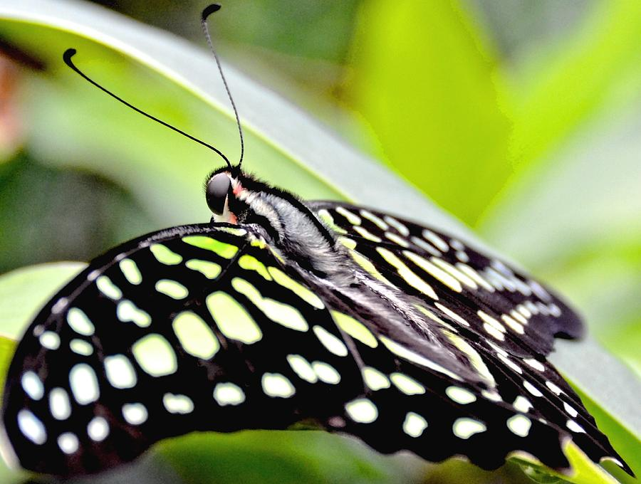 Green Spotted Tailed Jay Butterfly Photograph