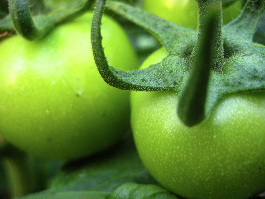 Green Tomatoes Photograph - Green Tomatoes No.3 by Kamil Swiatek