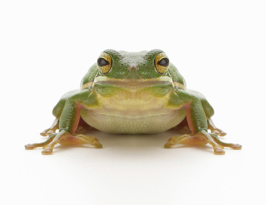 Horizontal Photograph - Green Tree Frog (hylidae Cinerea) by Don Farrall