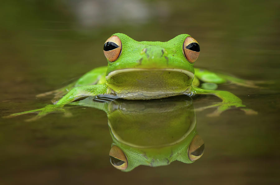 Green Photograph - Green Tree Frog by Riza Arif Pratama