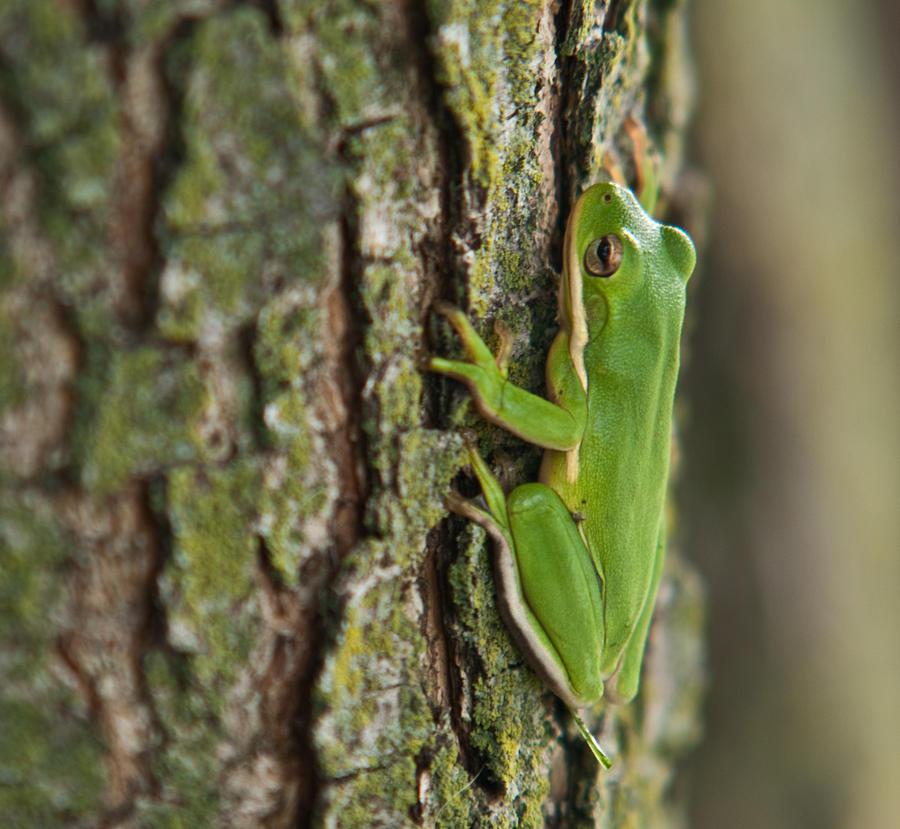 Green Photograph - Green Tree Frog Thinking by Douglas Barnett