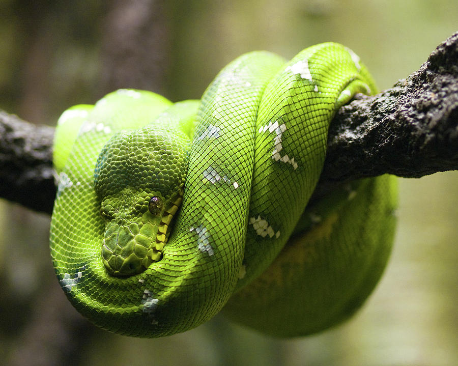 Horizontal Photograph - Green Tree Python by Andy Wanderlust