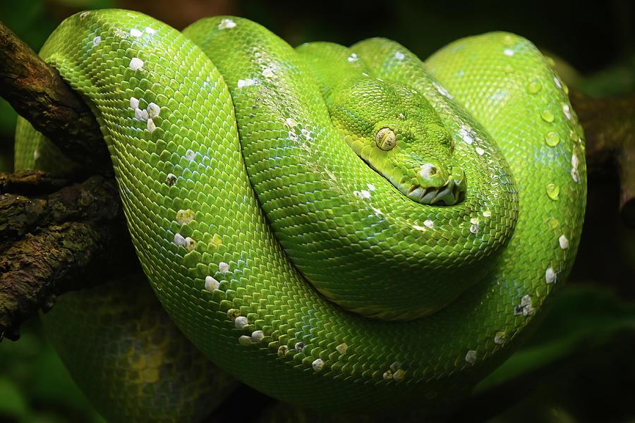 Python Photograph - Green tree python profile portrait close up by Anton Eine