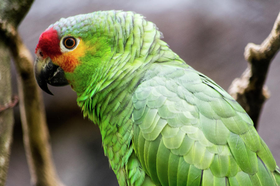 Green Photograph - Green Tropical Parrot, Side View. by Cesar Padilla