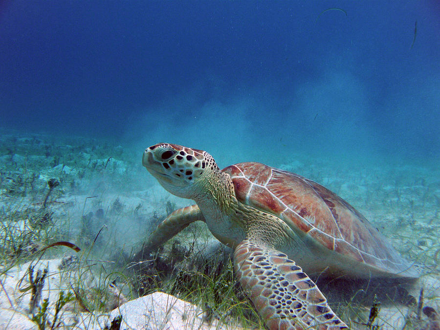 Salt Pond Photograph - Green Turtle by Kimberly Mohlenhoff