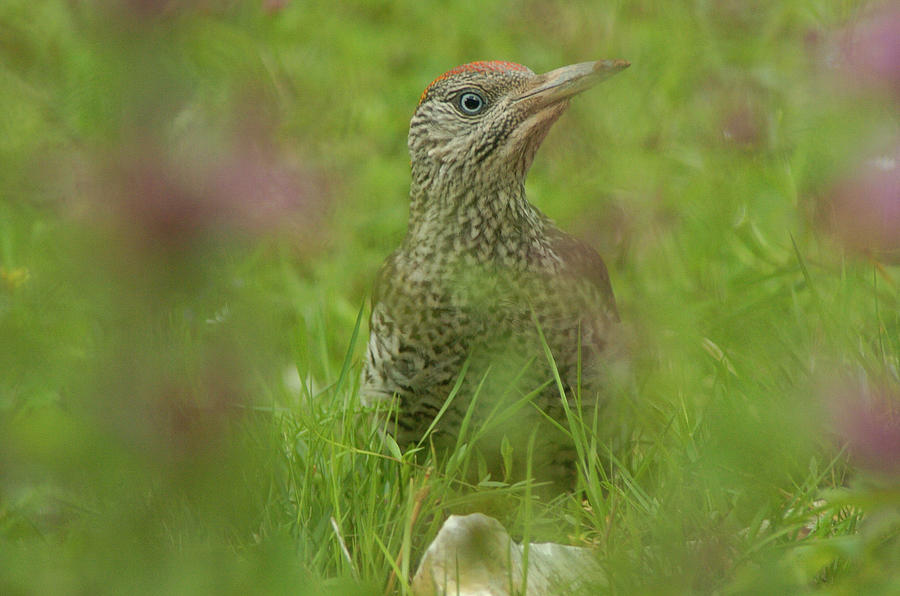 Bird Photograph - Green Woodpecker by Franz Roth