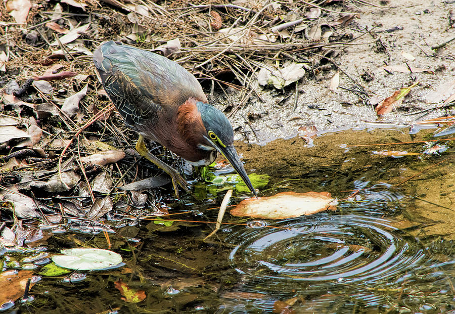 Green Heron Photograph - Greenie At Dusk by William Tasker