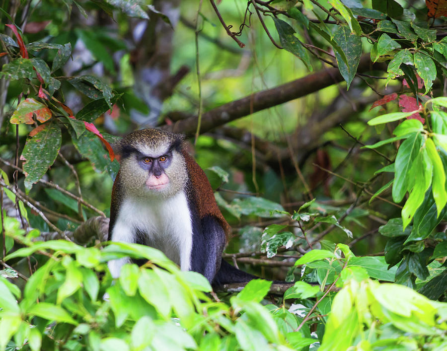 Grenada Monkey 2 by Arthur Dodd