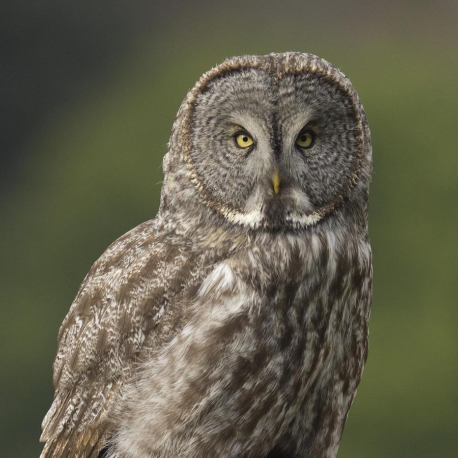 Birds Photograph - Great Gray Owl Portrait by Doug Herr