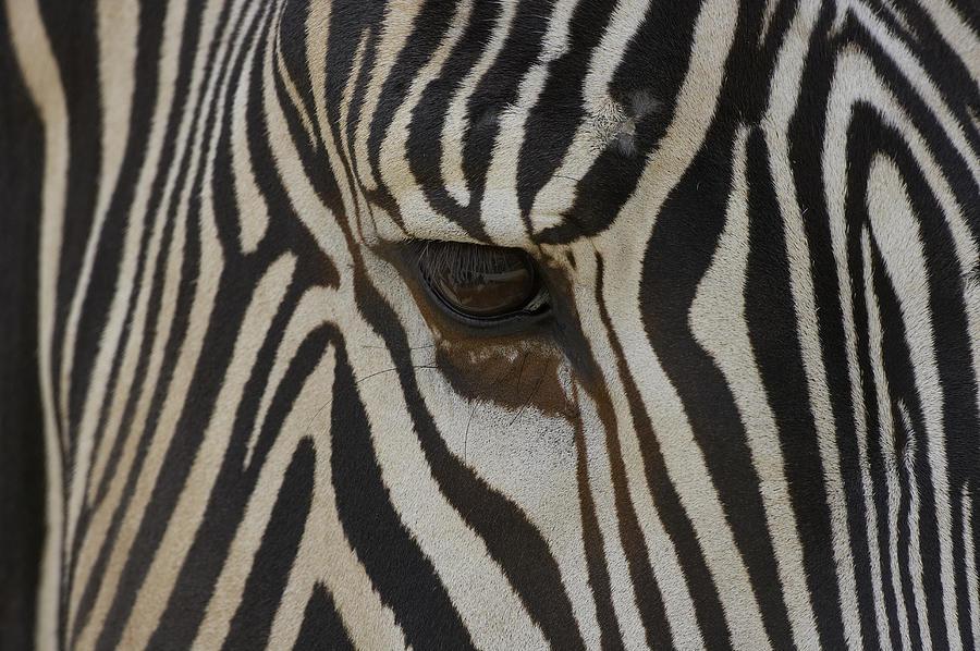 Mp Photograph - Grevys Zebra Equus Grevyi Close by Zssd