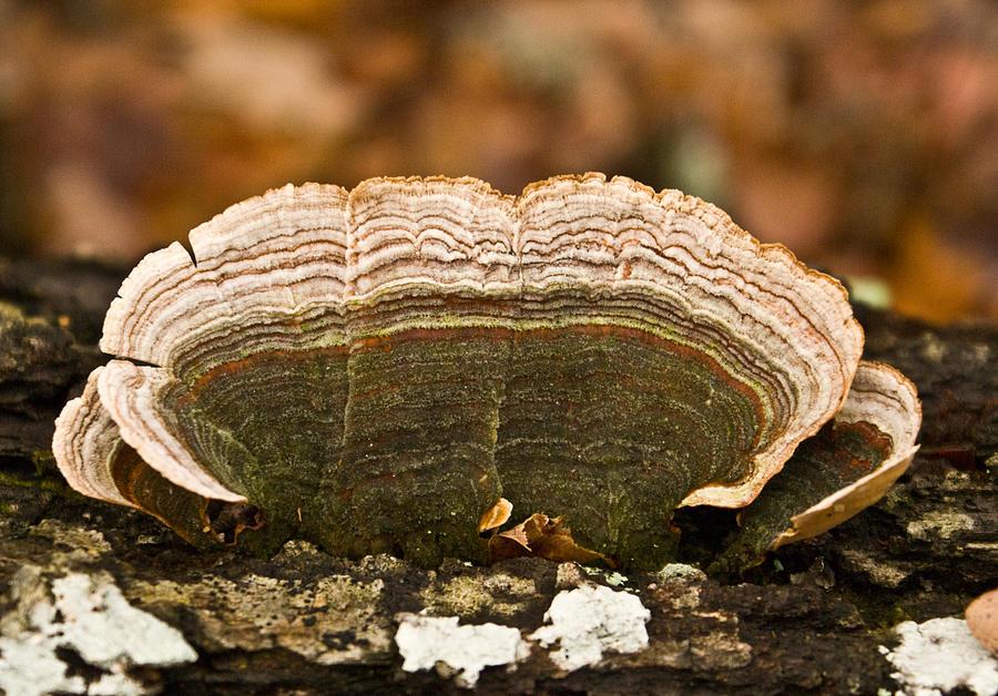 Grey Photograph - Grey Bracket Fungi by Douglas Barnett