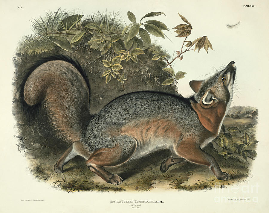 Canis (vulpes) Virginianus (grey Fox) Painting - Grey Fox by John James Audubon