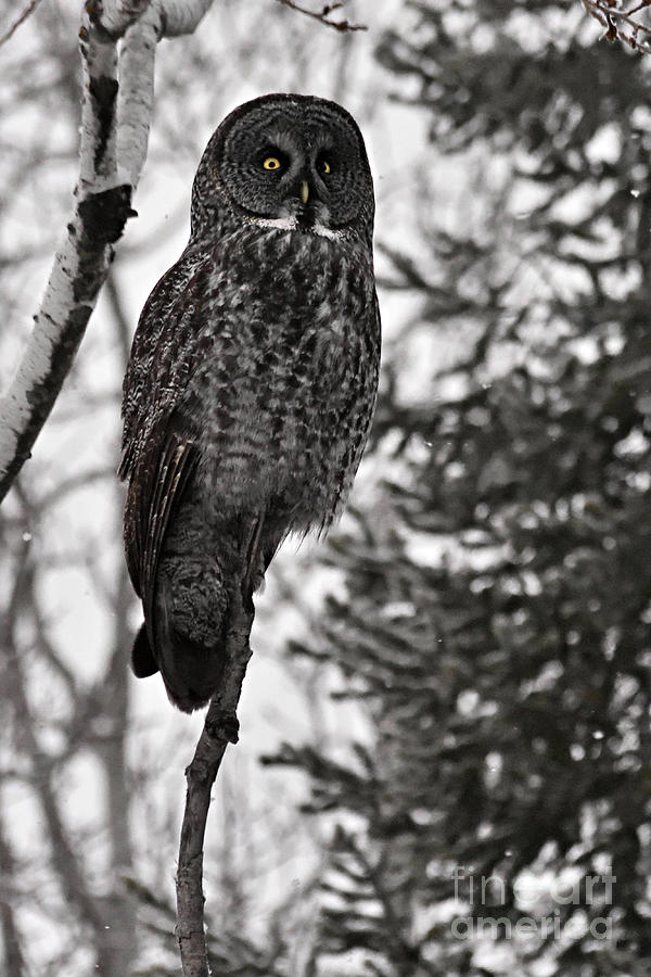 Nature Photograph - Grey Ghost of the North by Larry Ricker