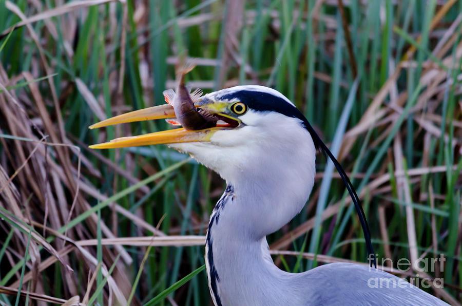 Heron Photograph - Grey Heron With Fish by Steev Stamford
