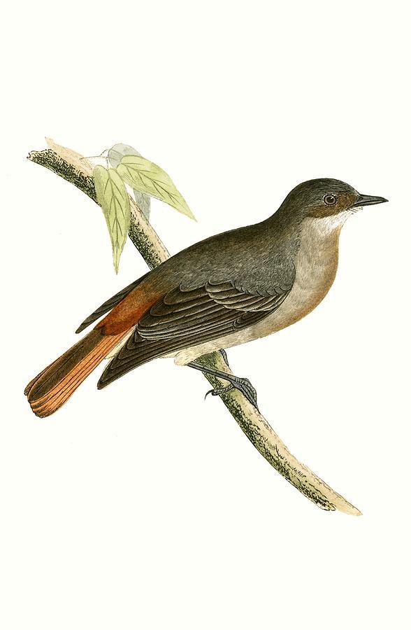 Bird Painting - Grey Redstart by English School