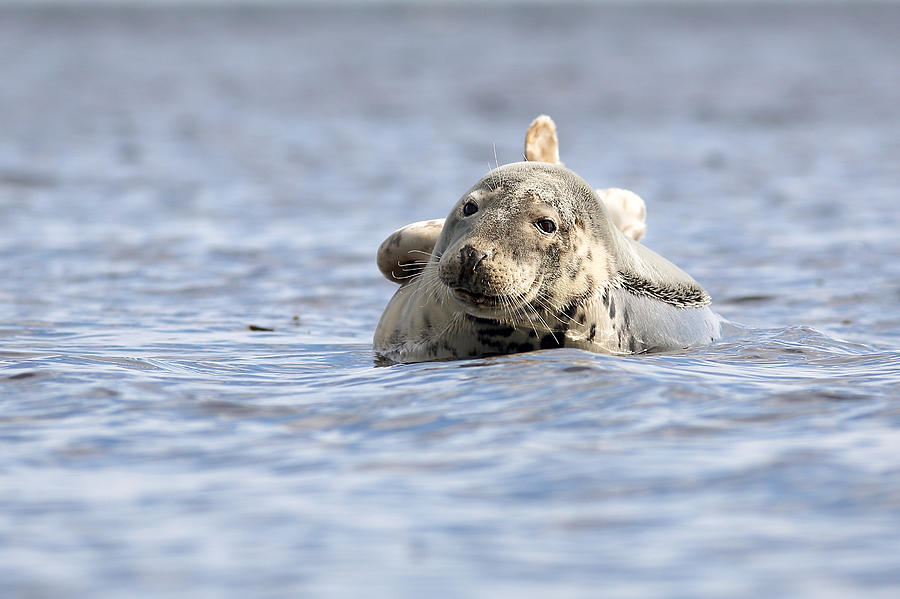 Seal Photograph - Common Seal by Grant Glendinning