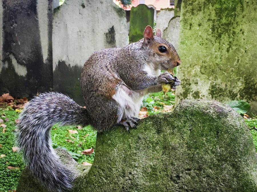 Grey Squirrel  by Geoff Smith