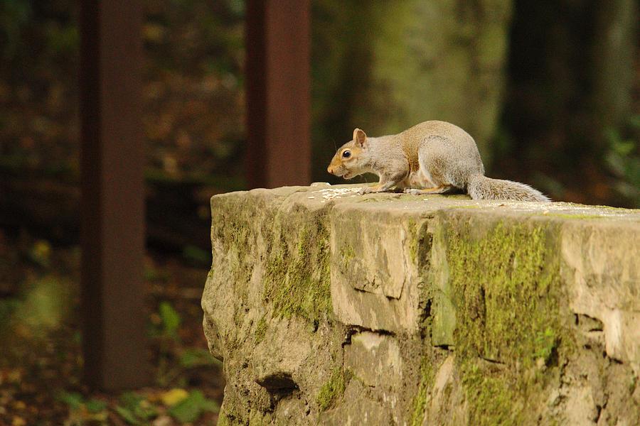 Grey Squirrel On Bridge by Adrian Wale