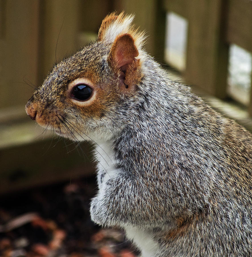 Grey Squirrel Profile by Jeff Galbraith