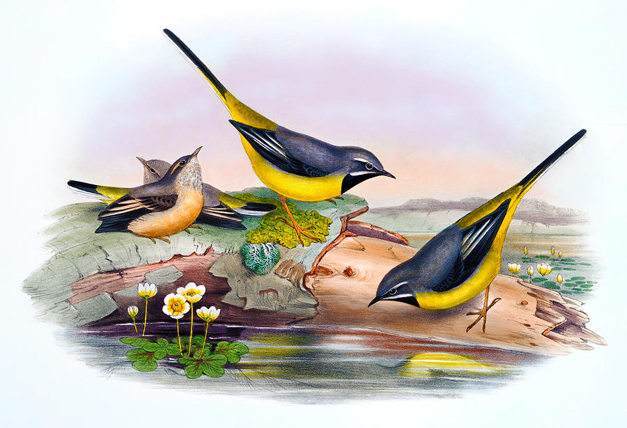 grey wagtail antique bird print birds of great britain painting by rh fineartamerica com