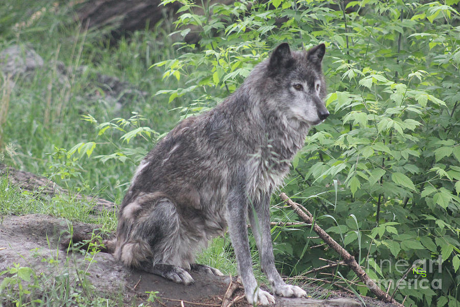 Grey Wolf Photograph - Grey Wolf by Nelson Smith