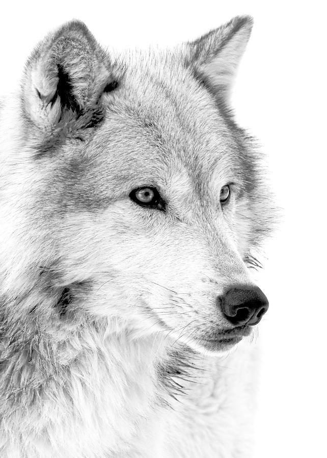 Wolves photograph grey wolf profile by athena mckinzie