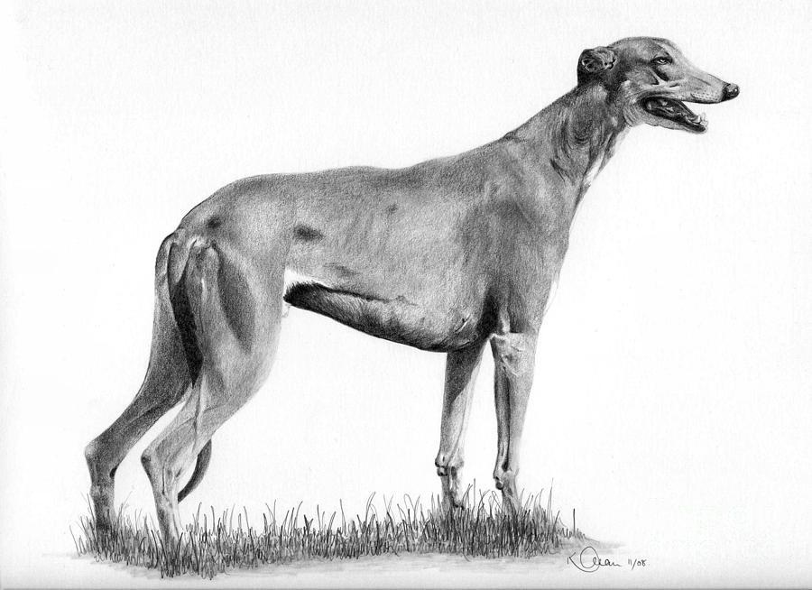 Dog Drawing - Greyhound by Karen Townsend