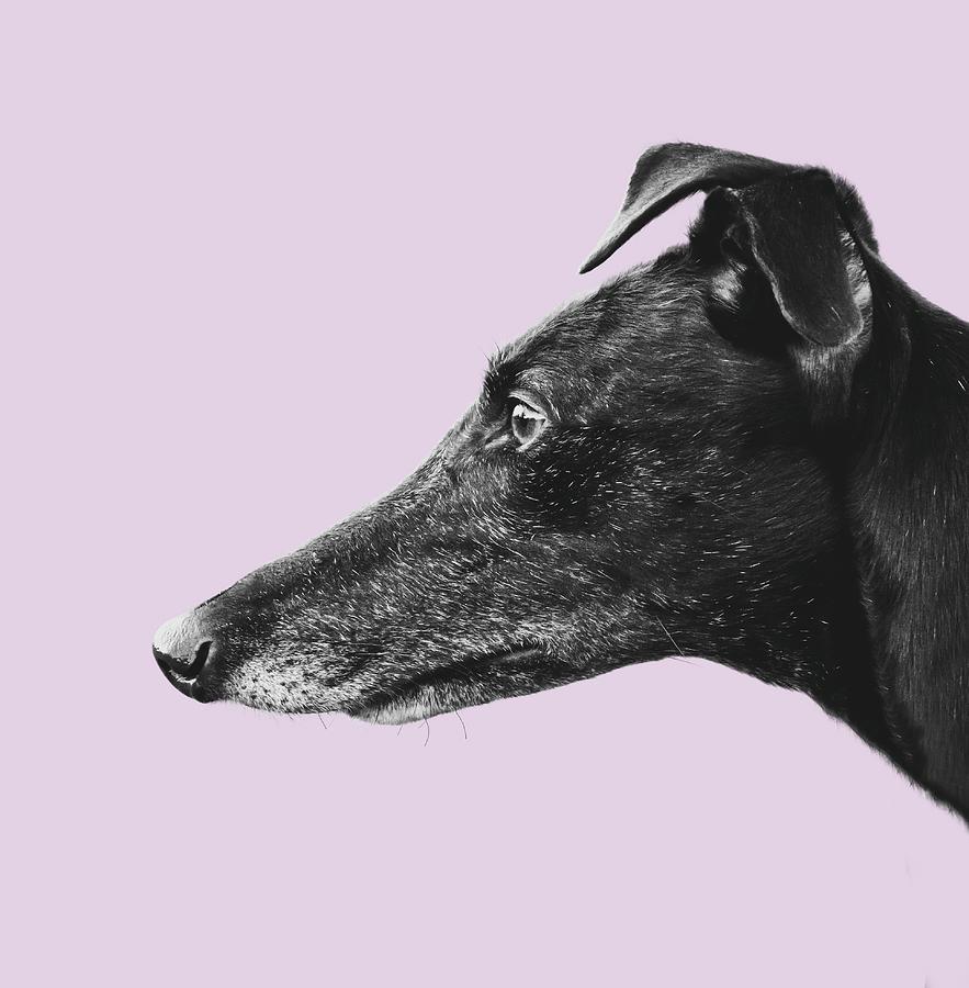 Beautiful Photograph - Greyhound Profile Design by Mr Doomits