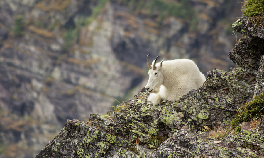 Mountain Goat Photograph - Grinnell Mountain Goat by Jeff Pfaller
