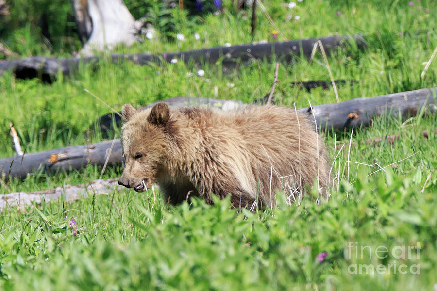 North American Brown Bear Photograph - Grizzly Bear Cub In Yellowstone National Park by Louise Heusinkveld