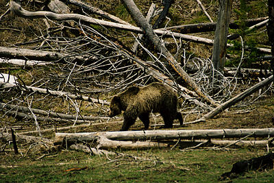 Grizzly Bear Photograph - Grizzly Bear by Gene Mace