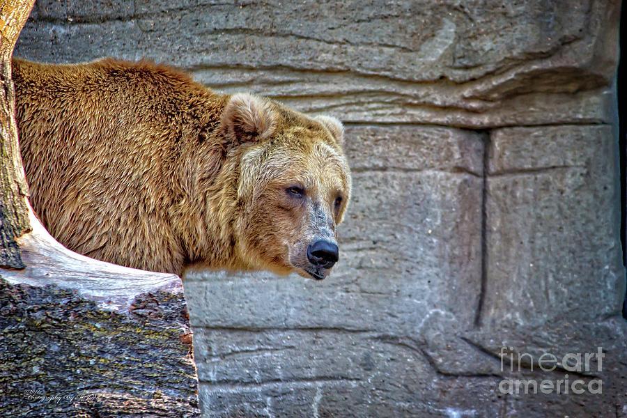 Grizzly Bear by Ms Judi