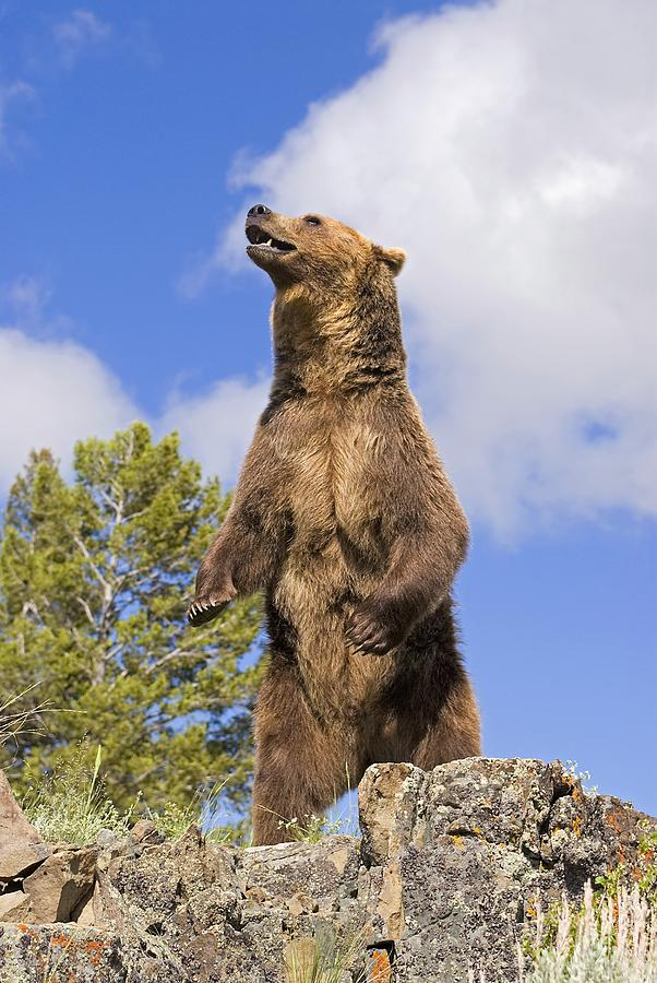 Grizzly Bear Standing On A Ridge Photograph by John Pitcher