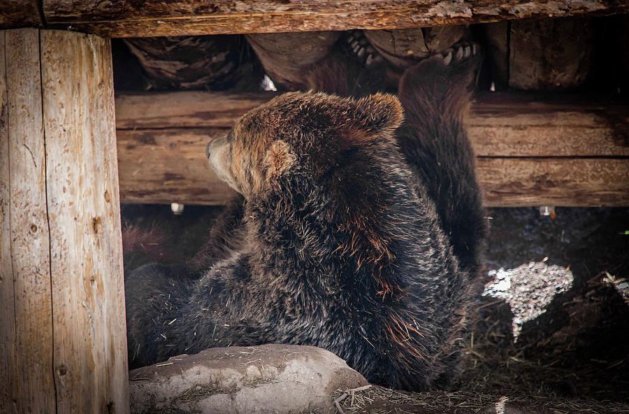 Grizzly Photograph - Grizzly Bear Under the Cabin by Dan Pearce