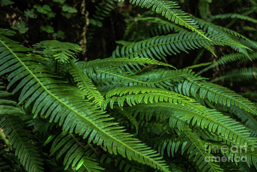 Humboldt County Photograph - Grizzly Creek Redwoods Ferns by Blake Webster
