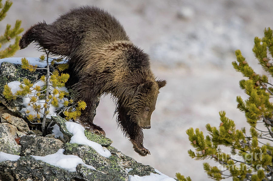 Grizzly Cub by Brad Schwarm