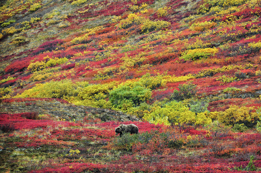 Grizzly Feast - Denali National Park - Alaska Photograph
