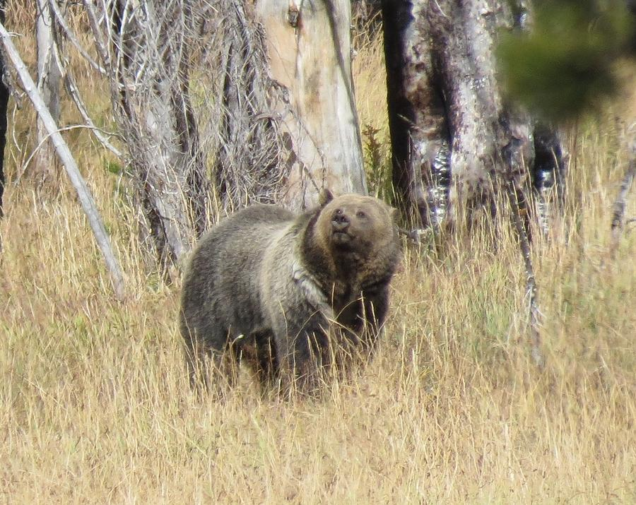 Grizzly Photograph by George Bannister