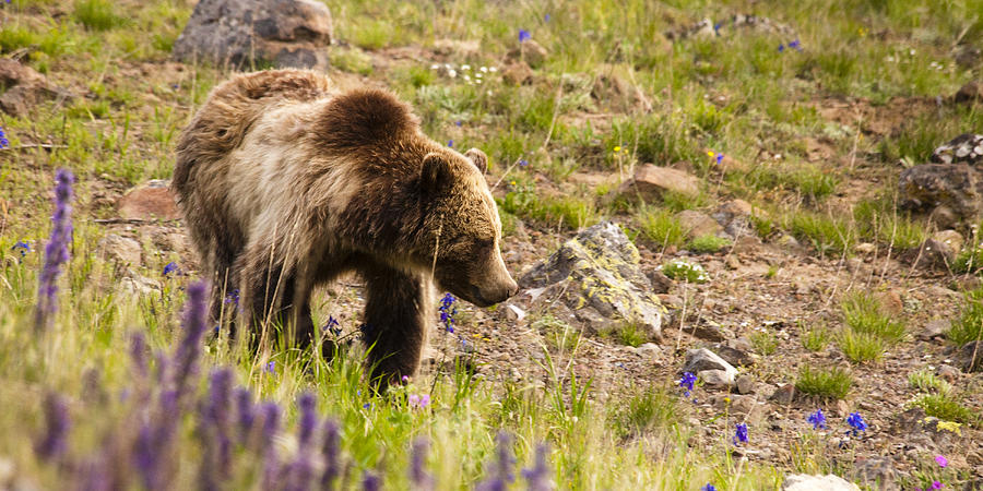 Grizzly Bear Photograph - Grizzly Hill by Chad Davis